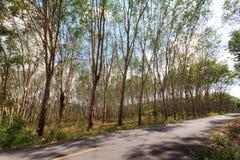 λαστιχένιο δέντρο παραγωγών λατέξ στοκ φωτογραφία με δικαίωμα ελεύθερης χρήσης