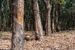 λαστιχένιο δέντρο παραγωγών λατέξ Στοκ Εικόνα