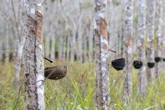 λαστιχένιο δέντρο της Ταϊλ στοκ φωτογραφία με δικαίωμα ελεύθερης χρήσης