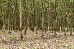 λαστιχένιο δέντρο φυτειών Στοκ Φωτογραφία
