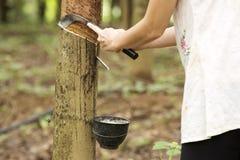 λαστιχένιο τρυπώντας δέντρ Στοκ φωτογραφίες με δικαίωμα ελεύθερης χρήσης