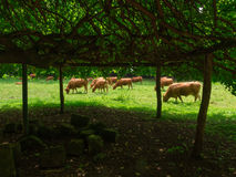 Αστουριανή αγελάδα Στοκ Φωτογραφίες
