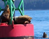 Αστρική επίδειξη κυριαρχίας λιονταριών θάλασσας σε Juneau, Αλάσκα Στοκ Εικόνες