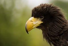 Αστρικός αετός Στοκ Εικόνα