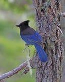 Αστρικός μπλε jay στον κλάδο Αλάσκα δέντρων Στοκ εικόνες με δικαίωμα ελεύθερης χρήσης