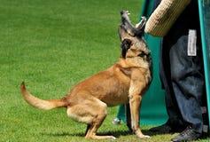 αστυνομία σκυλιών Στοκ Εικόνες