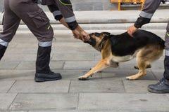 αστυνομία σκυλιών Στοκ Φωτογραφία