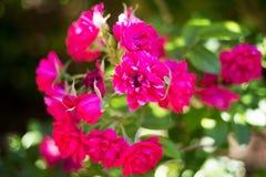 Ασυνήθιστα ρόδινα λουλούδια στη φύση Στοκ Φωτογραφίες