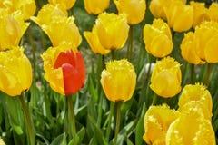 Ασυνήθιστη μισή κόκκινη και κατά το ήμισυ κίτρινη μεταλλαγή τουλιπών Να σταθεί μόνο μεμονωμένα στοκ φωτογραφία