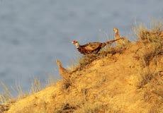 Ασυνήθιστη φωτογραφία πρωινού ενός αρσενικού και δύο θηλυκοί φασιανοί κατεβαίνουν κατά μήκος μιας απότομης κλίσης Στοκ Φωτογραφίες