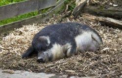 Ασυνήθιστος woolly-ντυμένος χοίρος στοκ φωτογραφία με δικαίωμα ελεύθερης χρήσης