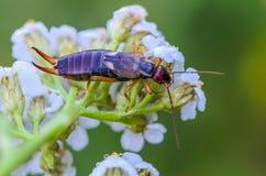 Ασυνήθιστο έντομο του earwig με δύο αγκάθια στο τέλος του κορμού στοκ εικόνες με δικαίωμα ελεύθερης χρήσης