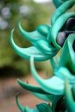 Ασυνήθιστο λουλούδι αμπέλων νεφριτών Στοκ Εικόνες