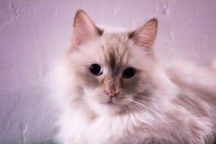 Ασυνήθιστο πορτρέτο γατών κινηματογραφήσεων σε πρώτο πλάνο, κατασκευασμένο άσπρο υπόβαθρο Στοκ Εικόνα