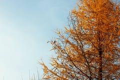 Ασυνήθιστο όμορφο κίτρινο δέντρο φθινοπώρου στο υπόβαθρο του autum Στοκ Φωτογραφία