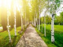 Ασφαλτώνοντας πορεία μεταξύ των σημύδων στο πάρκο στοκ φωτογραφία με δικαίωμα ελεύθερης χρήσης