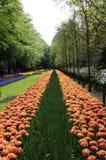 Ατελείωτος δρόμος λουλουδιών με την τουλίπα Στοκ εικόνες με δικαίωμα ελεύθερης χρήσης