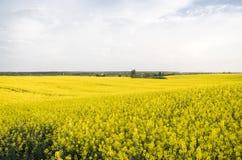 Ατελείωτος τομέας συναπόσπορων βιασμός πεδίων Κίτρινοι τομείς συναπόσπορων και νεφελώδης ουρανός με τα σύννεφα Γεωργία Στοκ Εικόνα
