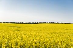 Ατελείωτος τομέας συναπόσπορων βιασμός πεδίων Κίτρινοι τομείς και μπλε ουρανός συναπόσπορων με τα σύννεφα στον ηλιόλουστο καιρό Γ Στοκ φωτογραφία με δικαίωμα ελεύθερης χρήσης
