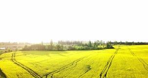Ατελείωτος τομέας συναπόσπορων fron η άποψη ματιών πουλιών βιασμός πεδίων Κίτρινοι τομείς και μπλε ουρανός συναπόσπορων με τα σύν φιλμ μικρού μήκους