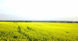Ατελείωτος τομέας συναπόσπορων fron η άποψη ματιών πουλιών βιασμός πεδίων Κίτρινοι τομείς και μπλε ουρανός συναπόσπορων με τα σύν απόθεμα βίντεο