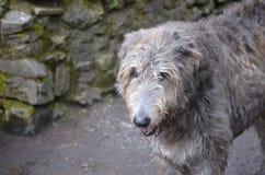 Ατημέλητο να φανεί ιρλανδικό σκυλί Wolfhound Στοκ εικόνα με δικαίωμα ελεύθερης χρήσης