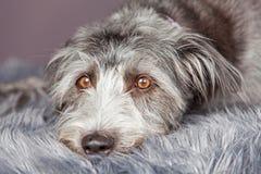 Ατημέλητο σκυλί που βάζει στο γκρίζο κάλυμμα γουνών Στοκ φωτογραφία με δικαίωμα ελεύθερης χρήσης