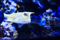 λατινικό όνομα longhorn lactoria cornuta cowfish Στοκ εικόνα με δικαίωμα ελεύθερης χρήσης