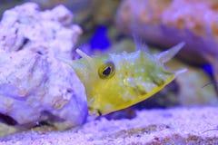 λατινικό όνομα longhorn lactoria cornuta cowfish Στοκ φωτογραφία με δικαίωμα ελεύθερης χρήσης