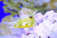 λατινικό όνομα longhorn lactoria cornuta cowfish Στοκ Εικόνες
