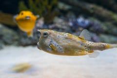 λατινικό όνομα longhorn lactoria cornuta cowfish Στοκ Φωτογραφία