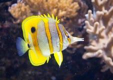 λατινικό rostratus ονόματος ψαριών πεταλούδων chelmon copperband Στοκ φωτογραφίες με δικαίωμα ελεύθερης χρήσης