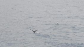 Ατλαντικά πουλιά puffin που κολυμπούν στο ωκεάνιο νερό Arctica Fratercula birs στη θάλασσα απόθεμα βίντεο