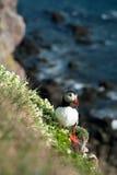 ατλαντική προεξοχή puffin που &s στοκ εικόνες με δικαίωμα ελεύθερης χρήσης