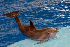 ατλαντικό δελφίνι bottlenose στοκ φωτογραφία