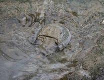 Ατλαντικό πεταλοειδές καβούρι, polyphemus Limulus στοκ εικόνες