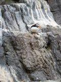 Ατλαντικό Puffin, Fratercula Arctica, σε έναν απότομο βράχο Στοκ Εικόνες