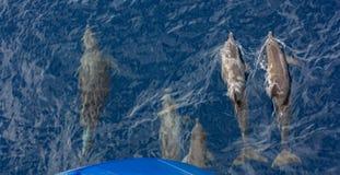 Ατλαντικά επισημασμένα δελφίνια Bowriding, frontalis Stenella Στοκ Εικόνες