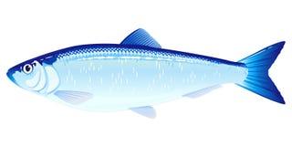 Ατλαντικά ψάρια ρεγγών διανυσματική απεικόνιση