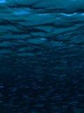 Ατλαντικές ασημένιες πλευρές στοκ φωτογραφίες