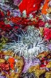 Ατλαντική θάλασσα anemones Στοκ Φωτογραφίες