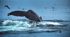 Ατλαντική φάλαινα Humpback Στοκ Φωτογραφίες