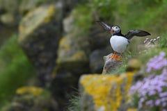 Ατλαντικό arctica Puffin - Fratercula, Shetland, ενωμένο Kingdome Στοκ Εικόνες