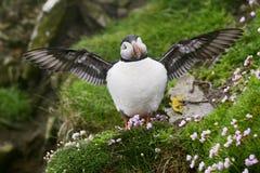 Ατλαντικό arctica Puffin - Fratercula, Shetland, ενωμένο Kingdome Στοκ φωτογραφία με δικαίωμα ελεύθερης χρήσης