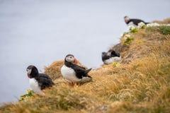Ατλαντικό arctica Puffins Fratercula Στοκ φωτογραφίες με δικαίωμα ελεύθερης χρήσης
