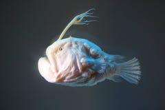 Ατλαντικό footballfish στοκ εικόνες