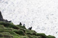 ατλαντικό fratercula arctica puffin Στοκ εικόνες με δικαίωμα ελεύθερης χρήσης