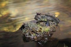 ατλαντικό mudskipper Στοκ Εικόνες
