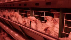 Αυγά και κοτόπουλα κοτόπουλου που τρώνε τα τρόφιμα στο αγρόκτημα Κοτόπουλο που τρώει τα τρόφιμα στο αγρόκτημα με τα αυγά στο δίσκ φιλμ μικρού μήκους