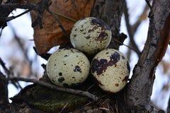 Αυγά ορτυκιών που κρύβονται σε ένα δέντρο Στοκ εικόνα με δικαίωμα ελεύθερης χρήσης